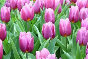 springflower02
