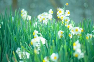 springflower04