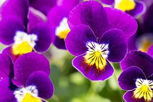 springflower05