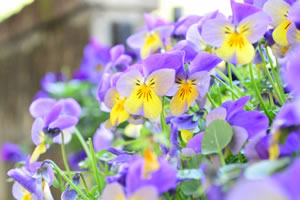 springflower06