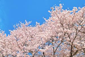 cherry-blossom02