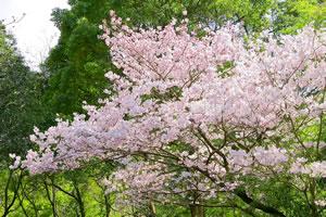 cherry-blossom03