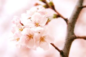 cherry-blossom04