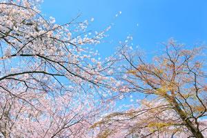 cherry-blossom05