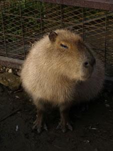 capybara01