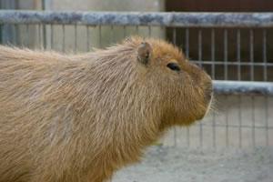capybara03